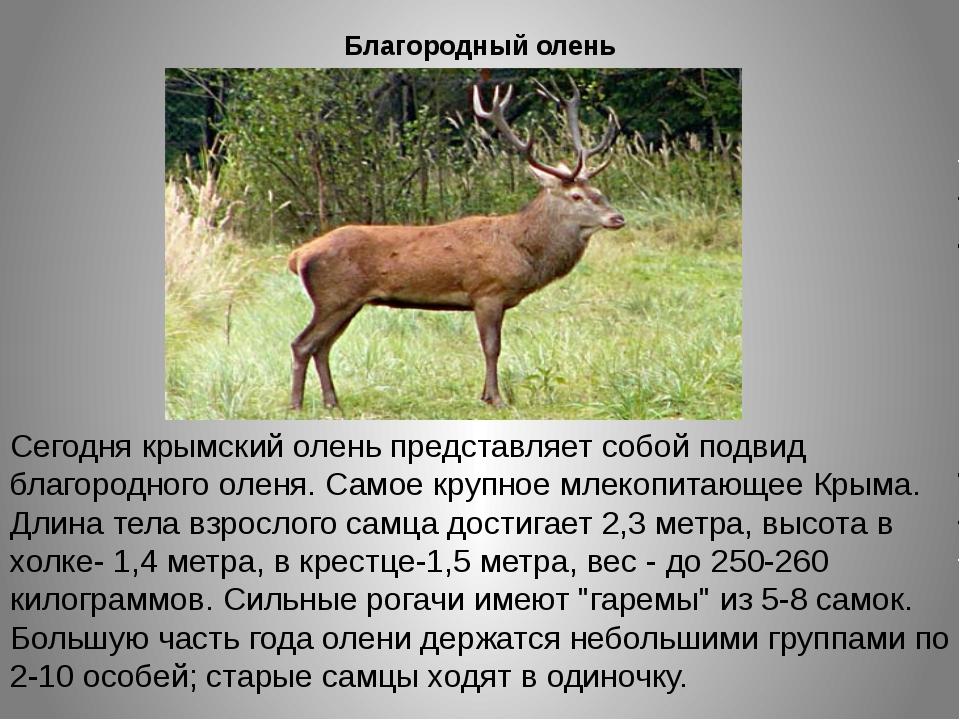 Благородный олень Сегодня крымский олень представляет собой подвид благородно...