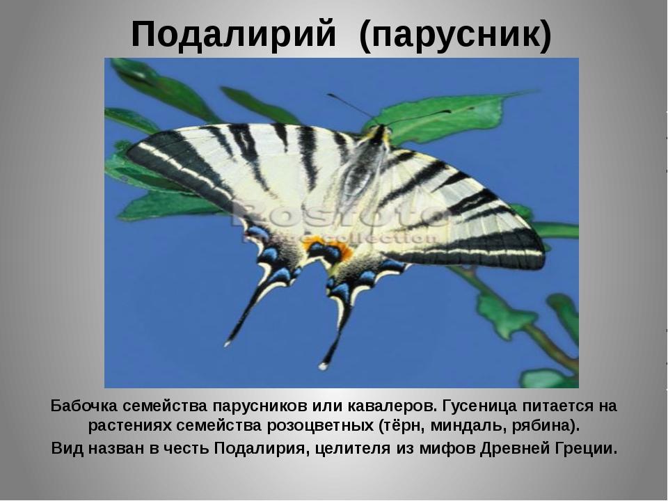 Подалирий (парусник) Бабочка семейства парусников или кавалеров. Гусеница пит...