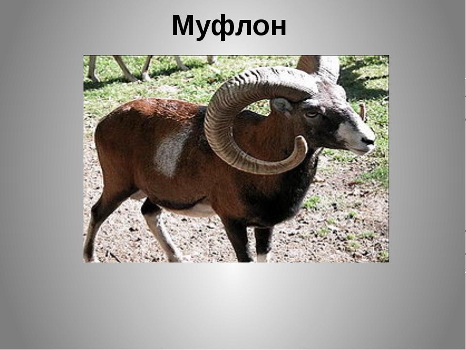 Муфлон