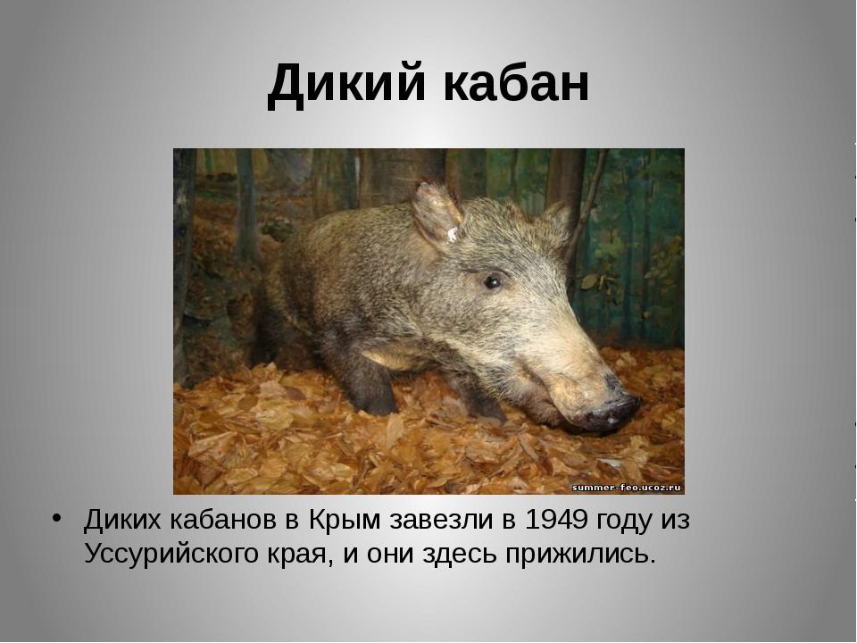 Дикий кабан Диких кабанов в Крым завезли в 1949 году из Уссурийского края, и...