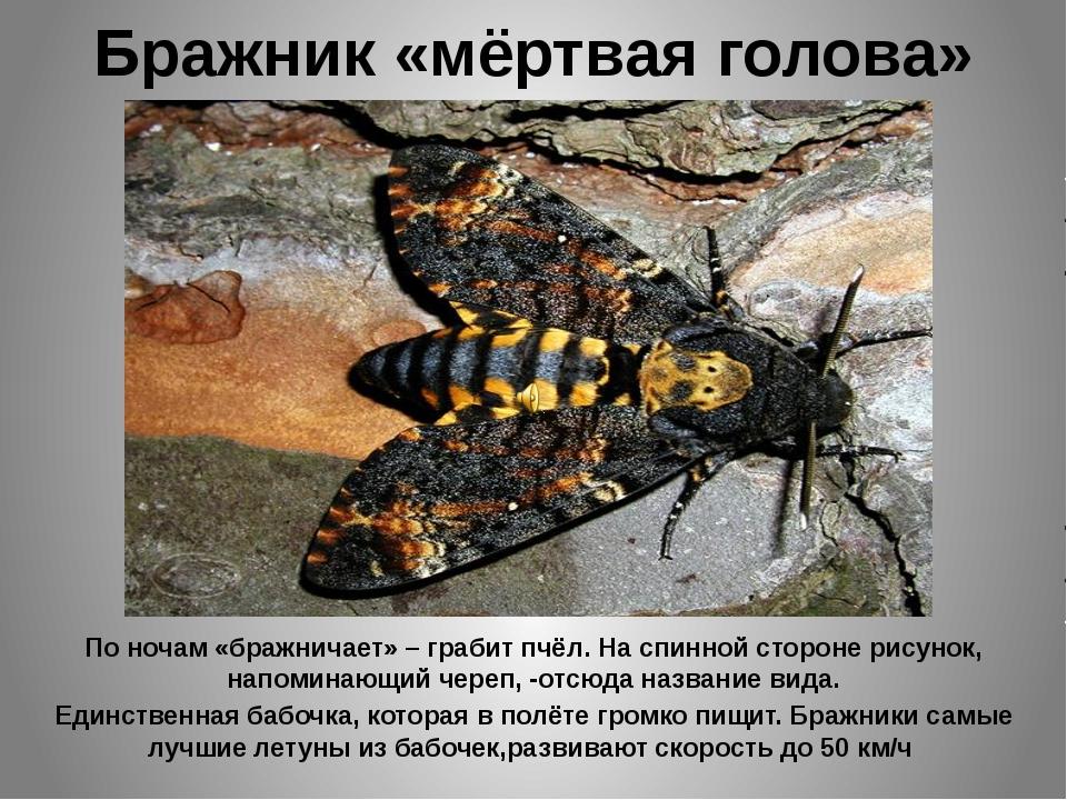Бражник «мёртвая голова» По ночам «бражничает» – грабит пчёл. На спинной стор...