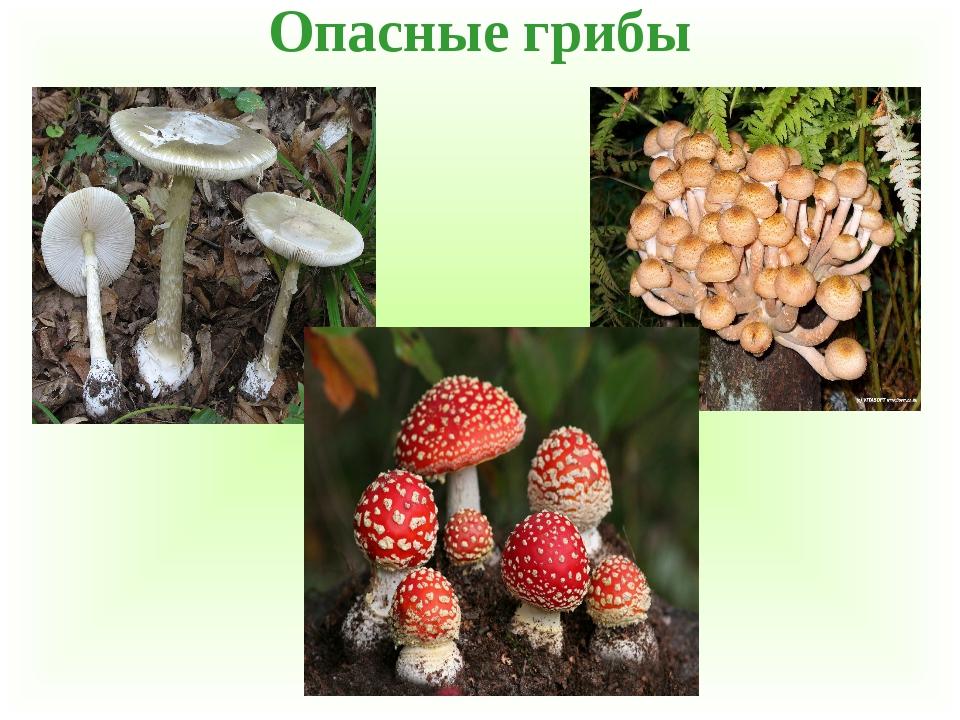 ядовитые грибы и ягоды фото и описание чили делают его