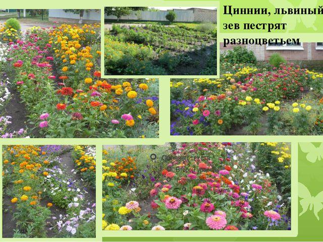 Циннии, львиный зев пестрят разноцветьем