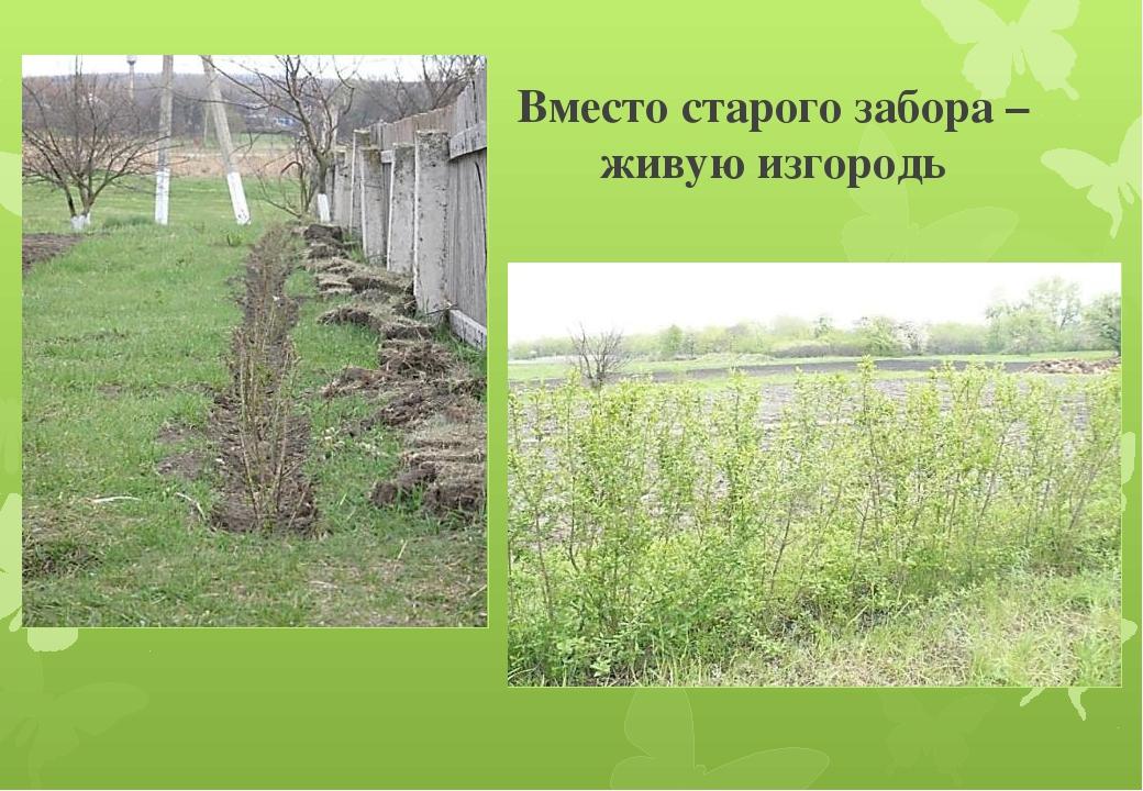 Вместо старого забора – живую изгородь