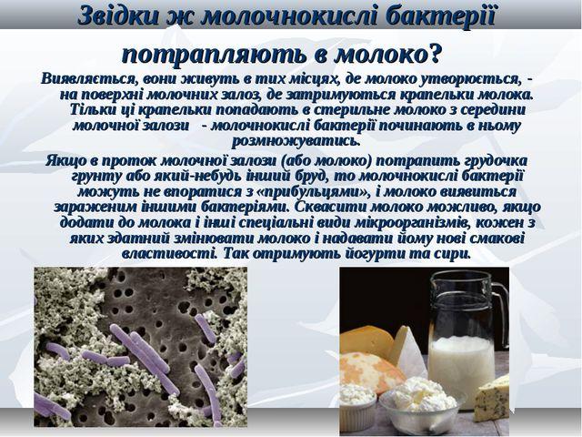 Звідки ж молочнокислі бактерії потрапляють в молоко? Виявляється, вони живуть...