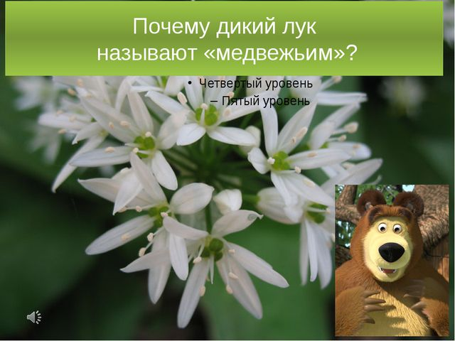 Почему дикий лук называют «медвежьим»?