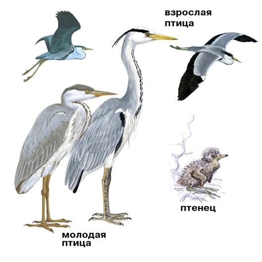 http://storage.onbird.ru/bird/photo/seraya-caplya/seraya-caplya-guide-(onbird.ru).jpg