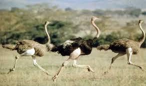 Картинки по запросу фото страуса