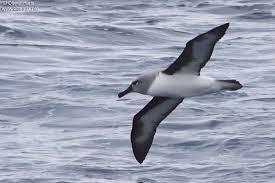 Картинки по запросу фото сероголовый альбатрос