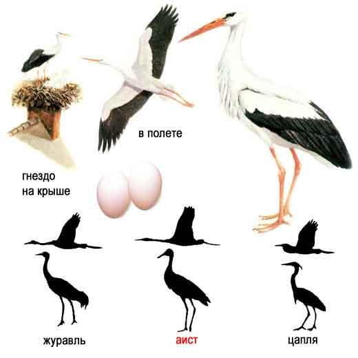 http://www.ecosystema.ru/08nature/birds/005.jpg