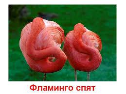 Картинки по запросу фото фламинго