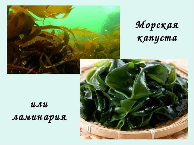 Морская капуста или ламинария