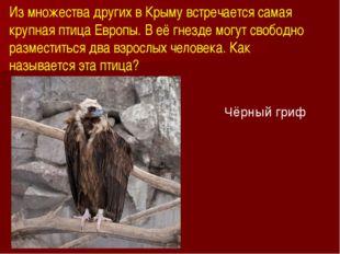 Из множества других в Крыму встречается самая крупная птица Европы. В её гнез
