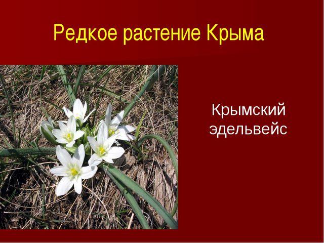 Редкое растение Крыма Крымский эдельвейс