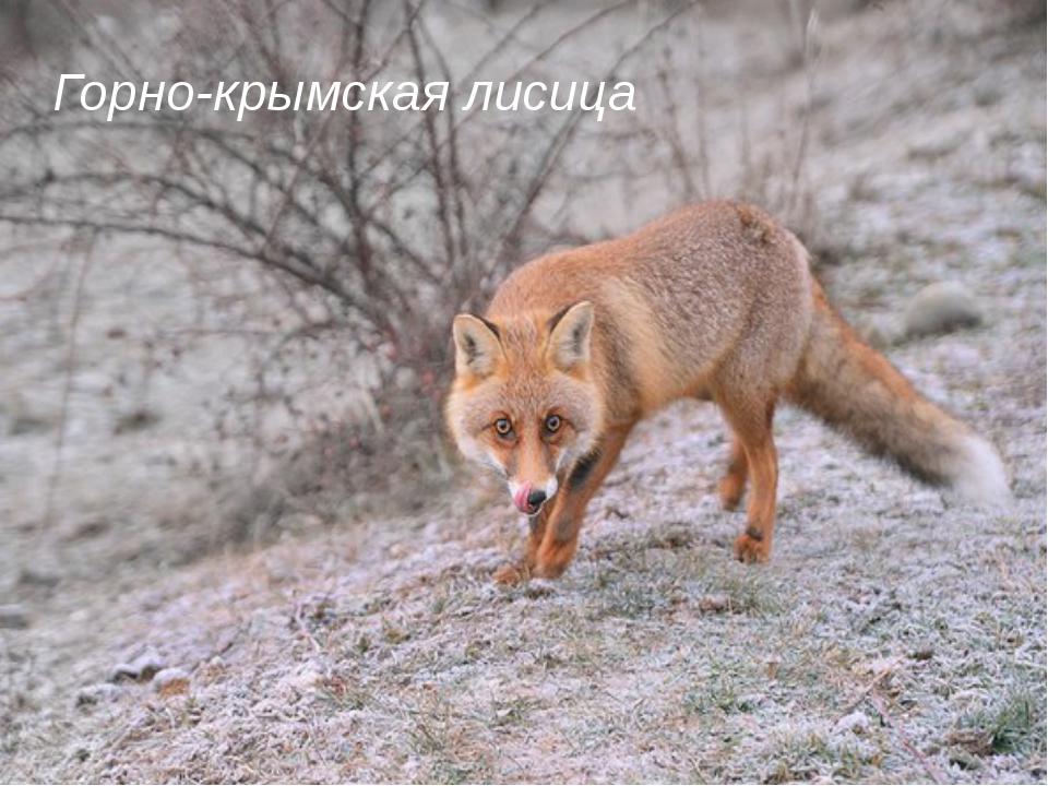 Горно-крымская лисица