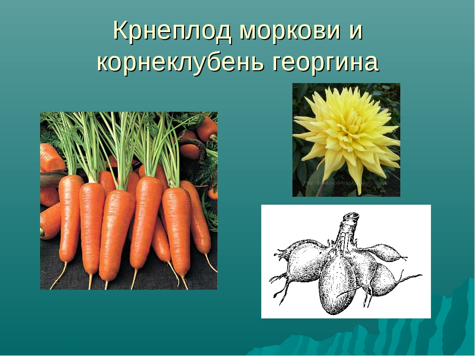 Крнеплод моркови и корнеклубень георгина