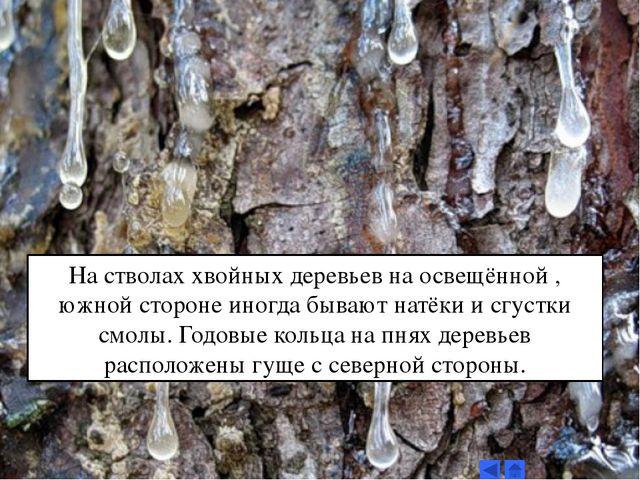 На стволах хвойных деревьев на освещённой , южной стороне иногда бывают натёк...