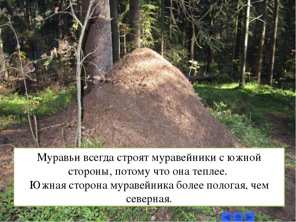 Муравьи всегда строят муравейники с южной стороны, потому что она теплее. Южн...