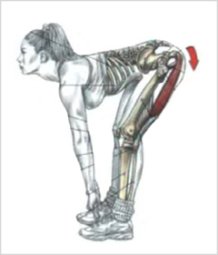 Действие седалищно-большеберцовых мышц