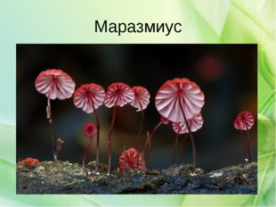 Маразмиус