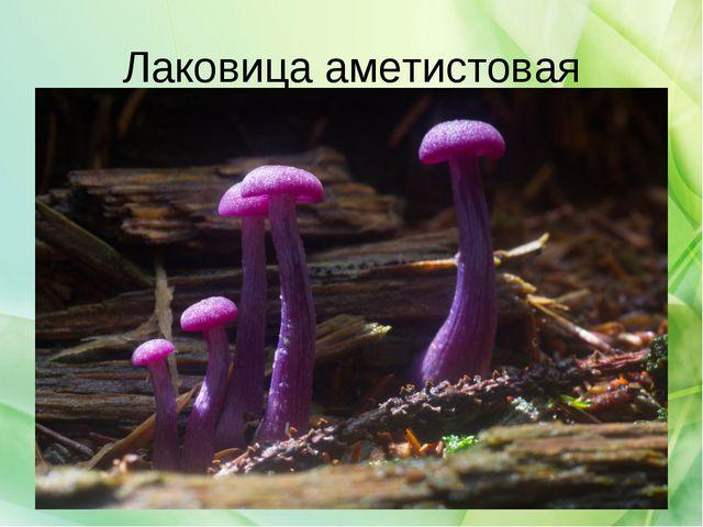 Лаковица аметистовая