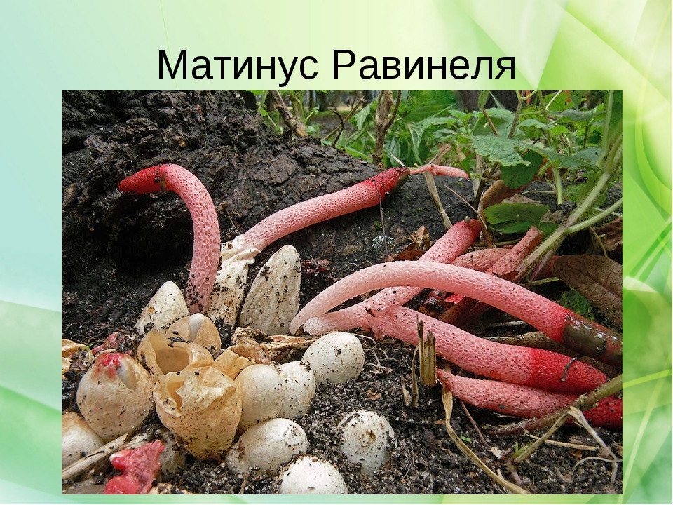 Матинус Равинеля