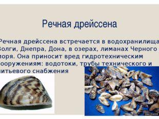 Речная дрейссена Речная дрейссена встречается в водохранилищах Волги, Днепра,