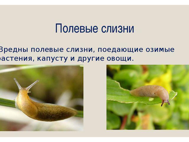 Полевые слизни Вредны полевые слизни, поедающие озимые растения, капусту и др...