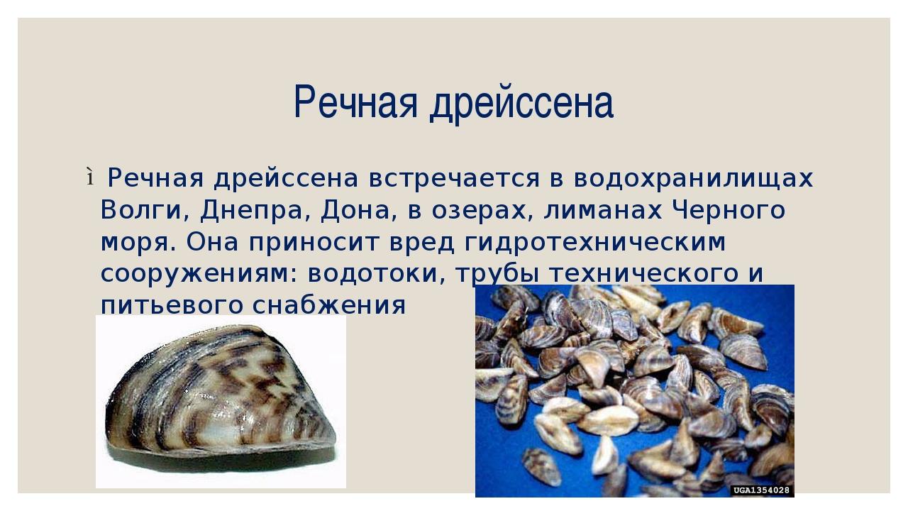 Речная дрейссена Речная дрейссена встречается в водохранилищах Волги, Днепра,...