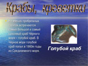 На мягких прибрежных грунтах встречаются самый большой и самый красивый краб