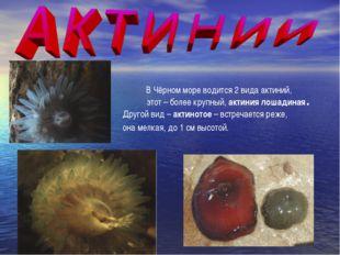 В Чёрном море водится 2 вида актиний, этот – более крупный, актиния лошадиная
