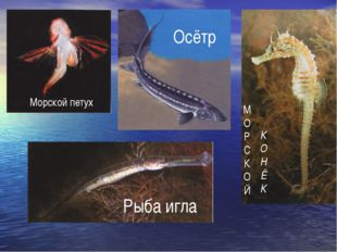 Осётр Морской петух М О Р С К О Й К О Н Ё К Рыба игла