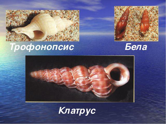 Трофонопсис Клатрус Бела