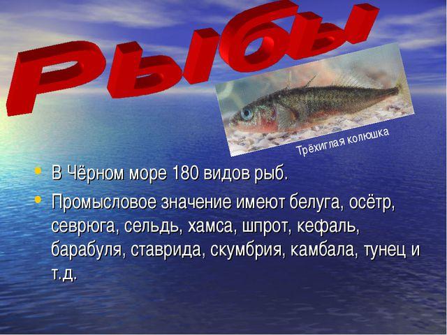 В Чёрном море 180 видов рыб. Промысловое значение имеют белуга, осётр, севрюг...
