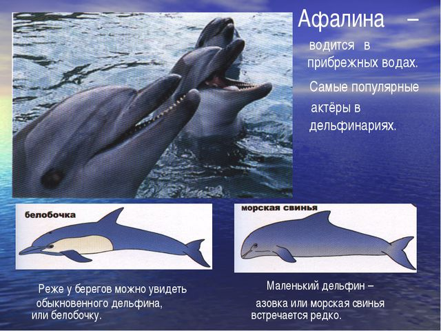 Афалина водится – прибрежных водах. в Самые популярные актёры в дельфинариях....