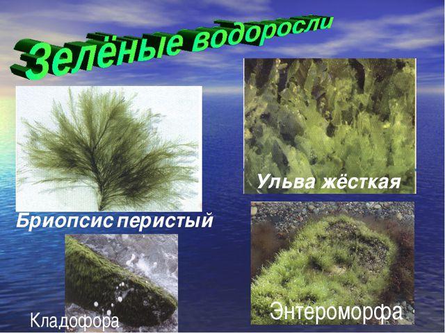 Бриопсис перистый Ульва жёсткая Энтероморфа Кладофора