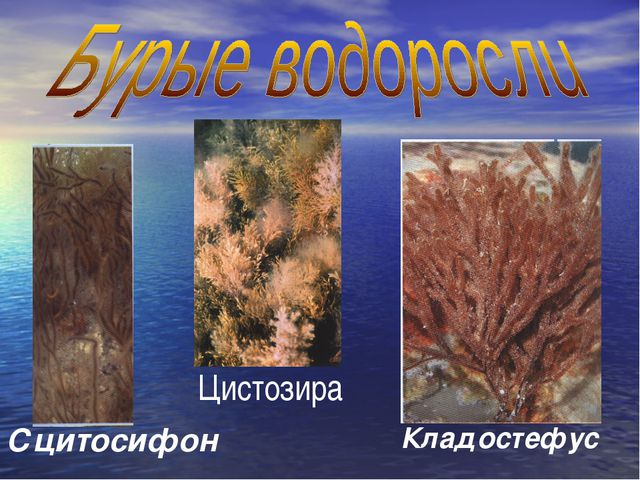 Сцитосифон Кладостефус Цистозира