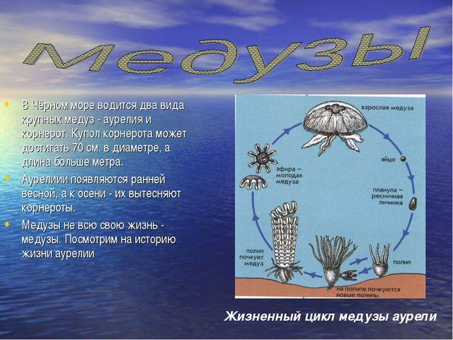 В Чёрном море водится два вида крупных медуз - аурелия и корнерот. Купол корн...