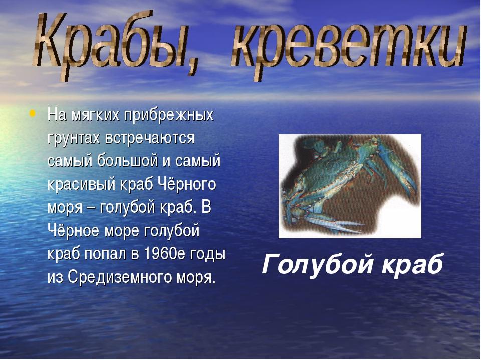 На мягких прибрежных грунтах встречаются самый большой и самый красивый краб...