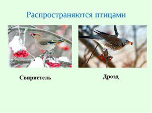 Распространяются птицами Дрозд