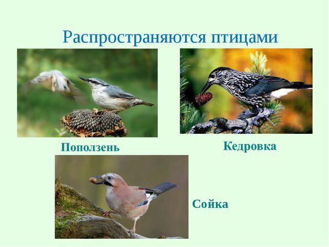 Распространяются птицами Сойка