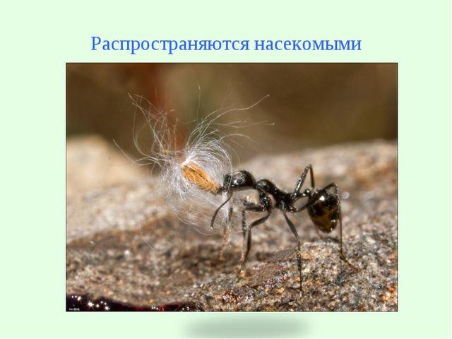 Распространяются насекомыми Муравей