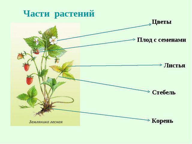Цветы Плод с семенами Листья Корень Стебель Части растений