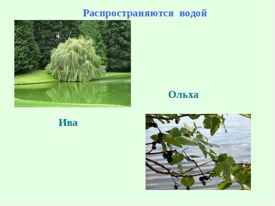 Распространяются водой Ольха Ольха Ива