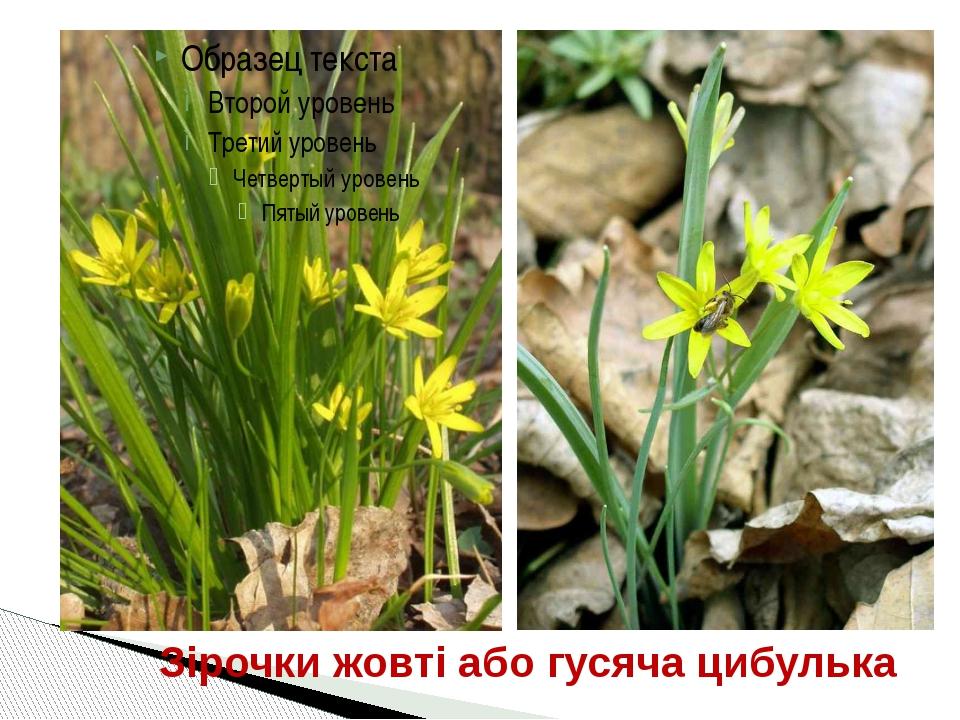 Зірочки жовті або гусяча цибулька