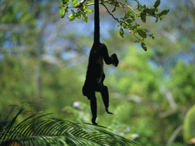 C:\Documents and Settings\Admin\Рабочий стол\a-monkey-hangs-from-a-tree-by-his-tail.jpg