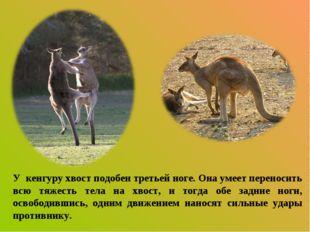 У кенгуру хвост подобен третьей ноге. Она умеет переносить всю тяжесть тела н