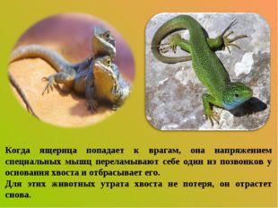Когда ящерица попадает к врагам, она напряжением специальных мышц переламываю