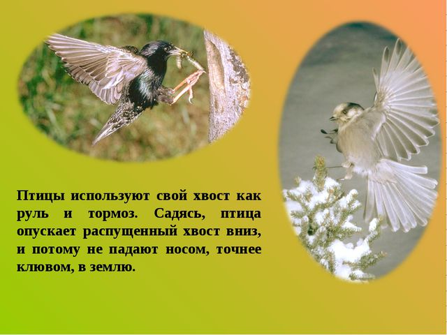 Птицы используют свой хвост как руль и тормоз. Садясь, птица опускает распуще...