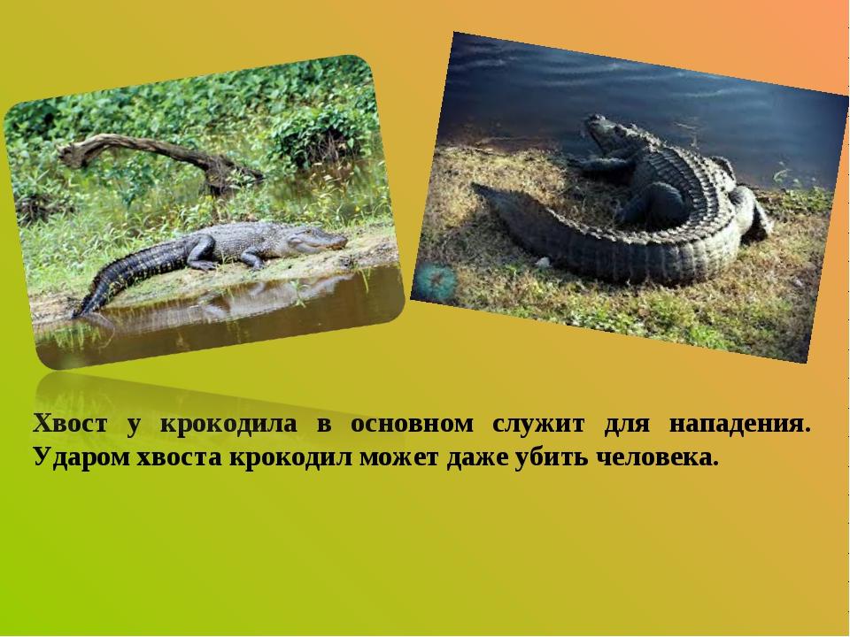 Хвост у крокодила в основном служит для нападения. Ударом хвоста крокодил мож...